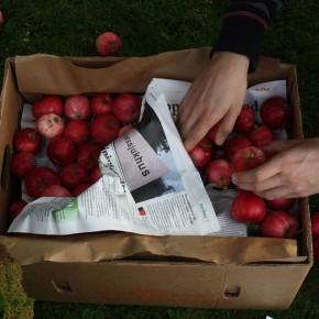 Gemensam äppelplockning / fruktförmedling